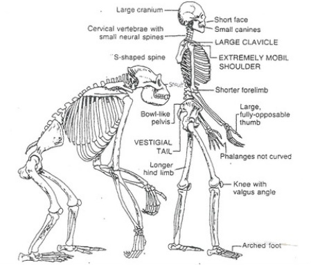 human evolution - biological evolution, Skeleton
